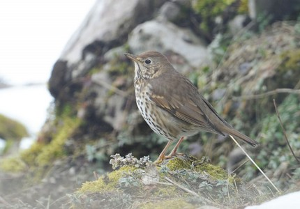 Grive musicienne - Turdus philomelos - Song Thrush.jpg