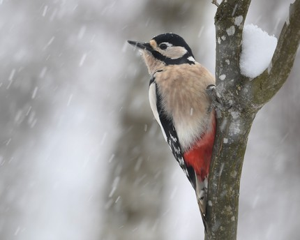 Pic épeiche -Dendrocopos major - Great Spotted Woodpecker (5).jpg