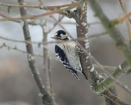 Pic épeichette - Dryobates minor - Lesser Spotted Woodpecker.jpg