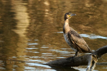 Grand Cormoran - Phalacrocorax carbo - Great Cormorant.jpg