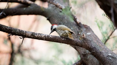 Pic à queue dorée - Campethera abingoni - Golden-tailed Woodpecker (95).jpg