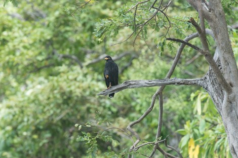 Buse noire - Buteogallus anthracinus - Common Black Hawk (113).jpg