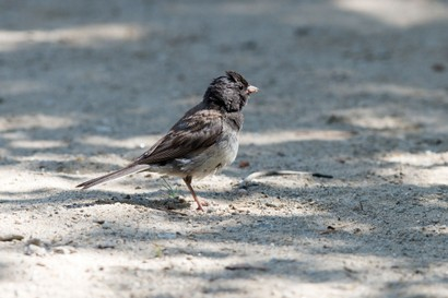 Junco ardoisé-Junco hyemalis-Dark-eyed Junco (14).jpg