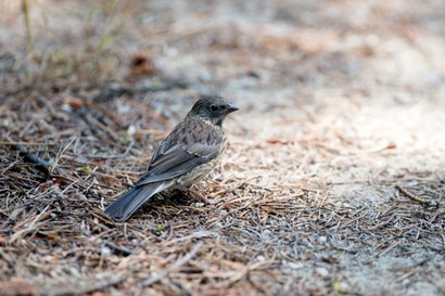 Junco ardoisé-Junco hyemalis-Dark-eyed Junco (27).jpg