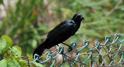 Quiscale noir - Quiscalus niger - Chicinguaco - Greater Antillean Grackle (1 (16).jpg