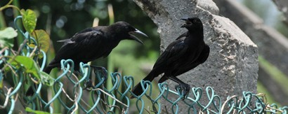 Quiscale noir - Quiscalus niger - Chicinguaco - Greater Antillean Grackle (1 (22).jpg