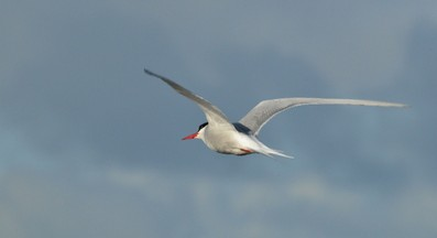 Sterne arctique - Sterna paradisaea - Arctic Tern (a) (48).jpg