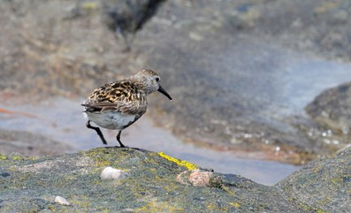 Bécasseau variable - Calidris alpina - Dunlin (11).jpg
