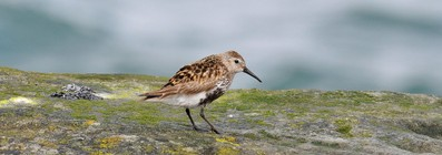 Bécasseau variable - Calidris alpina - Dunlin (17).jpg