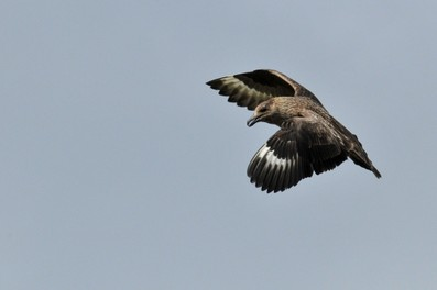 Grand Labbe - Stercorarius skua - Great Skua  (23).jpg