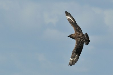 Grand Labbe - Stercorarius skua - Great Skua  (33).jpg