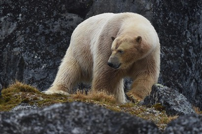 Ours blanc - Ursus maritimus - ours polaire (15).jpg