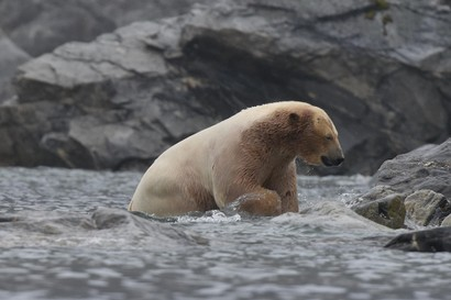 Ours blanc - Ursus maritimus - ours polaire (5).jpg