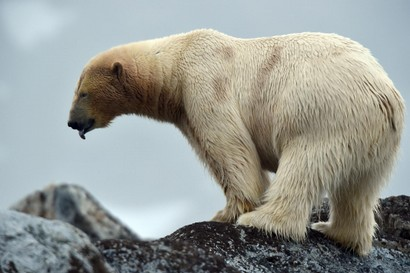 Ours blanc - Ursus maritimus - ours polaire (83).jpg