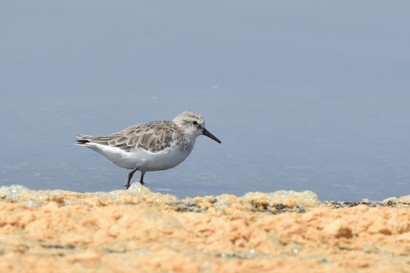 Bécasseau minute - Calidris minuta - Little Stint (1).JPG