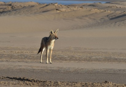 Chacal à chabraque - Black-backed Jackal - Canis mesomelas (a1) (43).jpg