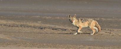 Chacal à chabraque - Black-backed Jackal - Canis mesomelas (a1) (44).jpg