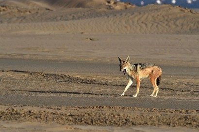 Chacal à chabraque - Black-backed Jackal - Canis mesomelas (a1) (53).jpg
