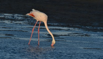 Flamant rose - Phoenicopterus roseus - Greater Flamingo (a1) (107).jpg