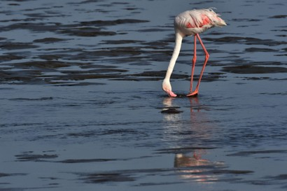 Flamant rose - Phoenicopterus roseus - Greater Flamingo (a1) (16).jpg