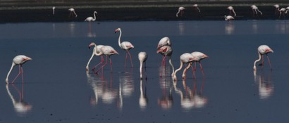Flamant rose - Phoenicopterus roseus - Greater Flamingo (a1) (51).jpg
