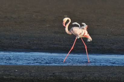 Flamant rose - Phoenicopterus roseus - Greater Flamingo (a1) (96).jpg