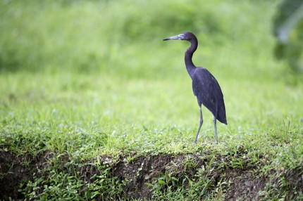 Aigrette bleue - Egretta caerulea - Little Blue Heron (29).jpg