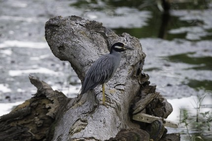 Bihoreau violacé - Nyctanassa violacea - Yellow-crowned Night Heron (35).jpg