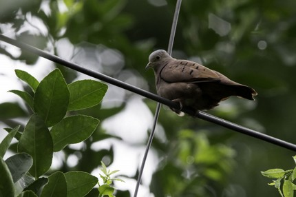 Colombe rousse - Columbina talpacoti - Ruddy Ground Dove (9).jpg