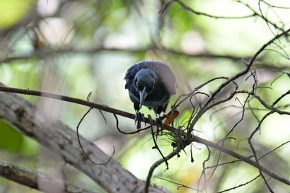 Quiscale noir-Quiscalus niger-Chichinguaco-Greater Antillean Grackle.jpg