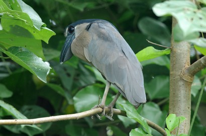 Savacou huppé - Cochlearius cochlearius - Boat-billed Heron (11).jpg