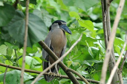 Savacou huppé - Cochlearius cochlearius - Boat-billed Heron (7).jpg