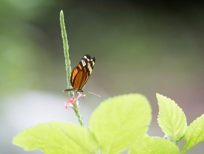 Heliconius hecale melicerta-Tiger Longwing (5).jpg