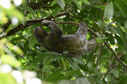 Paresseux à 3 doigts – Bradypus tridactylus - Pale-throated sloth (43).JPG