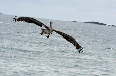 Pélican brun - Pelecanus occidentalis - Brown Pelican (27).JPG