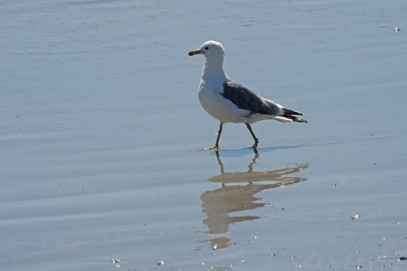 Goéland de Californie-Larus californicus-California Gull (14).jpg