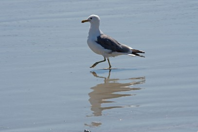 Goéland de Californie-Larus californicus-California Gull (19).jpg