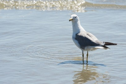 Goéland de Californie-Larus californicus-California Gull (23).jpg