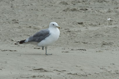 Goéland de Californie-Larus californicus-California Gull (3).jpg
