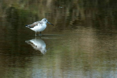 Chevalier aboyeur - Tringa nebularia - Common Greenshank (1).jpg