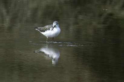 Chevalier aboyeur - Tringa nebularia - Common Greenshank (4).jpg