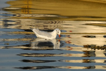 Mouette rieuse - Chroicocephalus ridibundus - Black-headed Gull (18).jpg