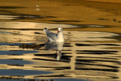 Mouette rieuse - Chroicocephalus ridibundus - Black-headed Gull (25).jpg