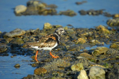 Tournepierre à collier - Arenaria interpres - Ruddy Turnstone (107).jpg