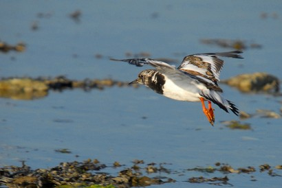 Tournepierre à collier - Arenaria interpres - Ruddy Turnstone (117).jpg