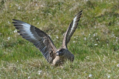 Grand Labbe - Stercorarius skua - Great Skua (36).jpg