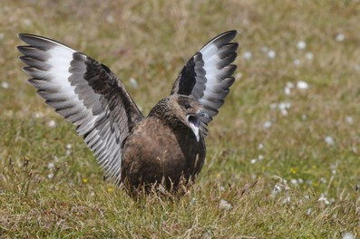Grand Labbe - Stercorarius skua - Great Skua.jpg